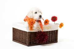 Puppy in a box. Cute puppy stock image