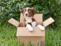 Puppy Box Royalty Free Stock Images