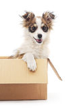 Puppy in the box. Stock Photos