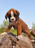 Puppy boxer Royalty Free Stock Image