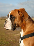 Puppy Boxer. Profil of puppy purebred german boxer: cute watching dog Stock Image