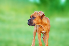 Puppy Boxer Stock Images