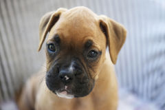 Puppy Boxer Dog. Young or puppy boxer dog Royalty Free Stock Photo