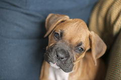 Puppy Boxer Dog Stock Photo