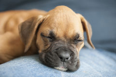 Puppy Boxer Dog Royalty Free Stock Image