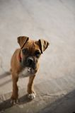 Puppy (boxer) staring with mournful curiosity Stock Images
