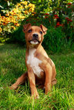Puppy breed American Staffordshire Terrier. On a green grass Stock Images