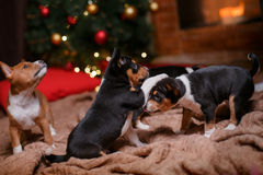Puppy breed Basenji, Christmas and New Year Royalty Free Stock Images