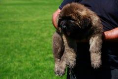 Caucasian Shepherd Dog. Puppy breed Caucasian Shepherd on the hands of a man stock photo