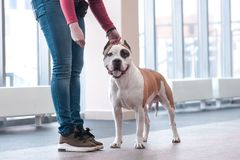 Puppy breed English Staffordshire Terrier in the exhibition royalty free stock photography