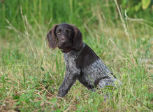 Puppy of breed German Pointer Royalty Free Stock Images