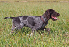 Puppy of breed German Pointer Royalty Free Stock Image