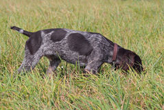 Puppy of breed German Pointer Royalty Free Stock Photos