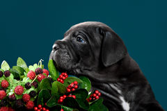Puppy breed Italian Cane Corso Stock Photo