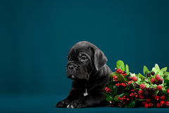 Puppy breed Italian Cane Corso Stock Photos