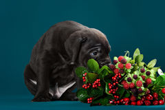 Puppy breed Italian Cane Corso Stock Images