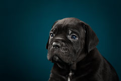 Puppy breed Italian Cane Corso Royalty Free Stock Images