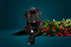 Puppy breed Italian Cane Corso Royalty Free Stock Photos