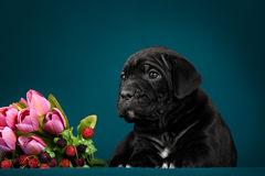 Puppy breed Italian Cane Corso Royalty Free Stock Photo