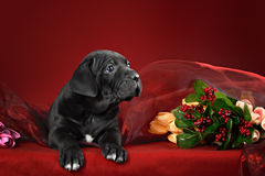 Puppy breed Italian Cane Corso Royalty Free Stock Image