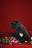 Puppy breed Italian Cane Corso Stock Image