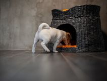Puppy of breed Jack Russell Terrier peeks into a wicker house with orange pillows royalty free stock photography