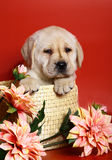 Puppy of breed labrador in a basket. Stock Images
