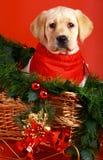 Puppy of breed labrador retriever. Stock Photography