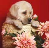 Puppy of breed labrador a retriever in a basket. Stock Image