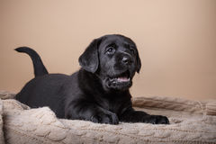 Puppy breed labrador Stock Photography