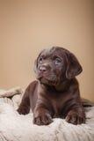 Puppy breed labrador Royalty Free Stock Photos