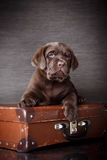 Puppy breed labrador Royalty Free Stock Photography