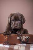 Puppy breed labrador Stock Image