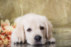 Puppy breed labrador Stock Image