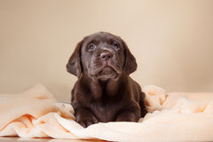 Puppy breed labrador Stock Images