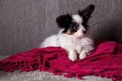 Puppy breed papillon. Rest on the couch royalty free stock image