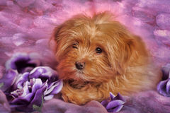 Puppy of breed the Petersburg orchid Royalty Free Stock Photo