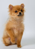 Puppy of breed a Pomeranian spitz-dog Stock Photos
