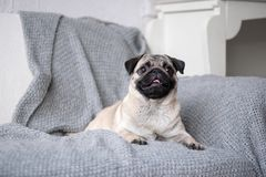 Puppy breed pug lying on the couch. stock image