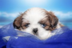 Puppy breed shitsu with tribal marriage, eye color is different.One blue,one brown royalty free stock photo
