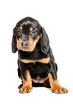 Puppy breed Slovakian Hound Stock Photography