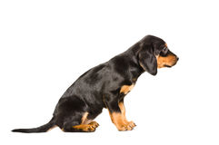 Puppy breed Slovakian Hound sitting side view Royalty Free Stock Image