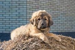 Puppy breed Tibetan Mastiff Stock Photos