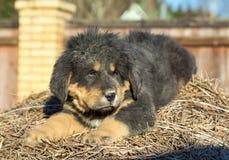 Puppy breed Tibetan Mastiff Royalty Free Stock Photos