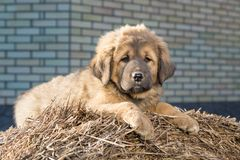 Puppy breed Tibetan Mastiff Stock Image