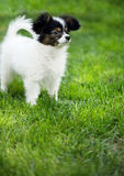 Puppy breeds Papillon. On the green grass Stock Images
