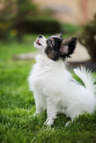 Puppy breeds Papillon. On the green grass Royalty Free Stock Photos