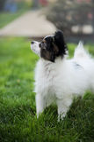 Puppy breeds Papillon. On the green grass Stock Photos