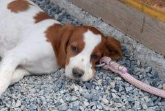 Puppy breton Royalty Free Stock Image