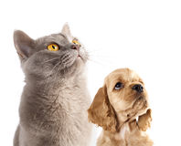 Puppy and  British cat Royalty Free Stock Image